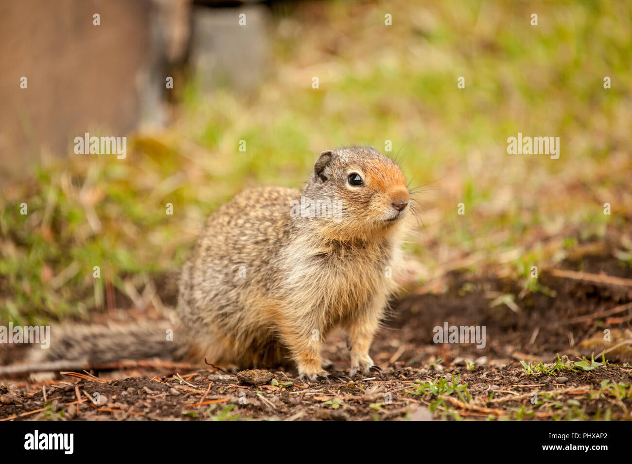 Columbian Ground Squirrel in Glacier National Park, Montana, USA - Stock Image
