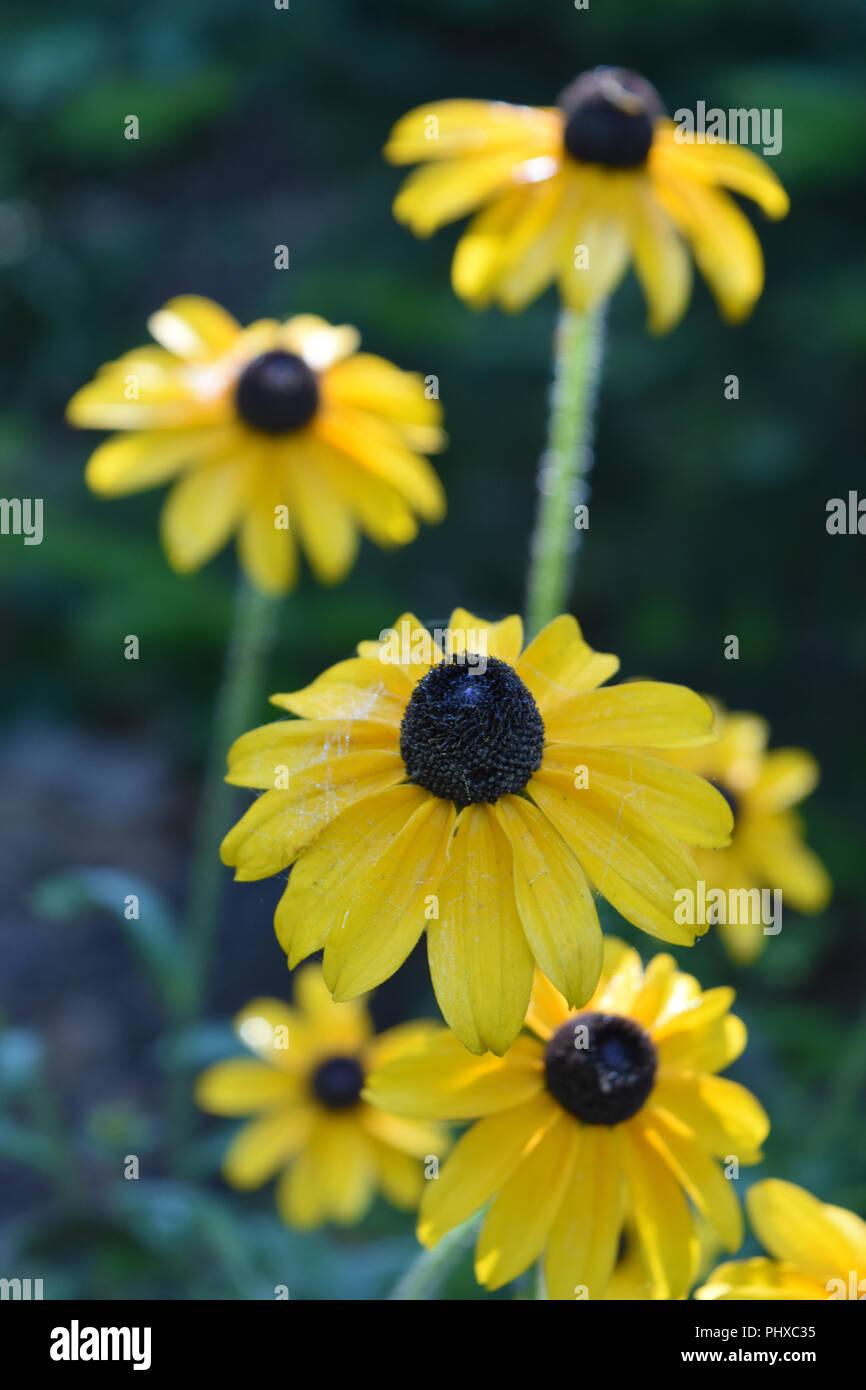 Garden With Very Pretty Gloriosa Daisy Flowers Stock Photo