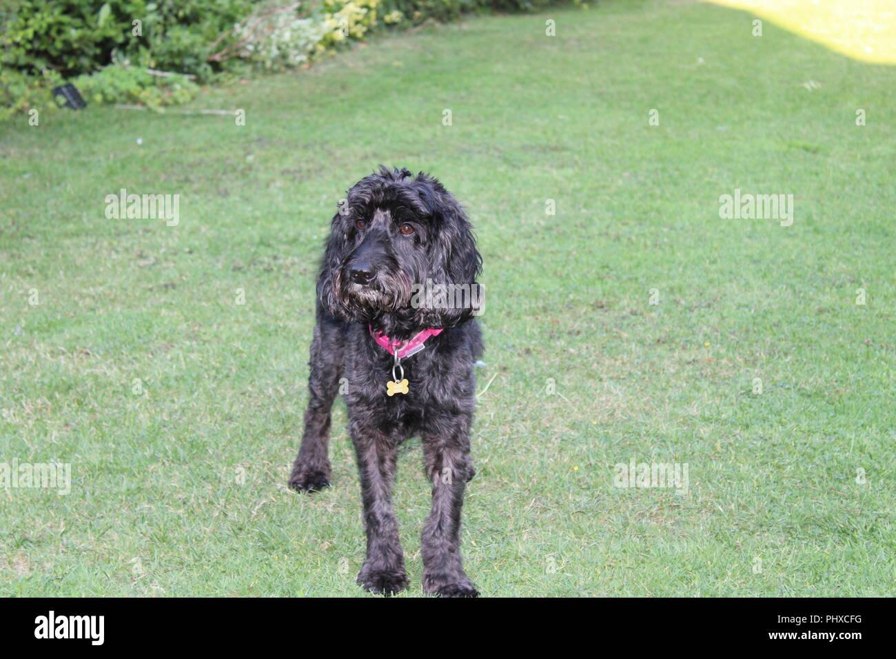 Cockapoo dog plays in garden Stock Photo