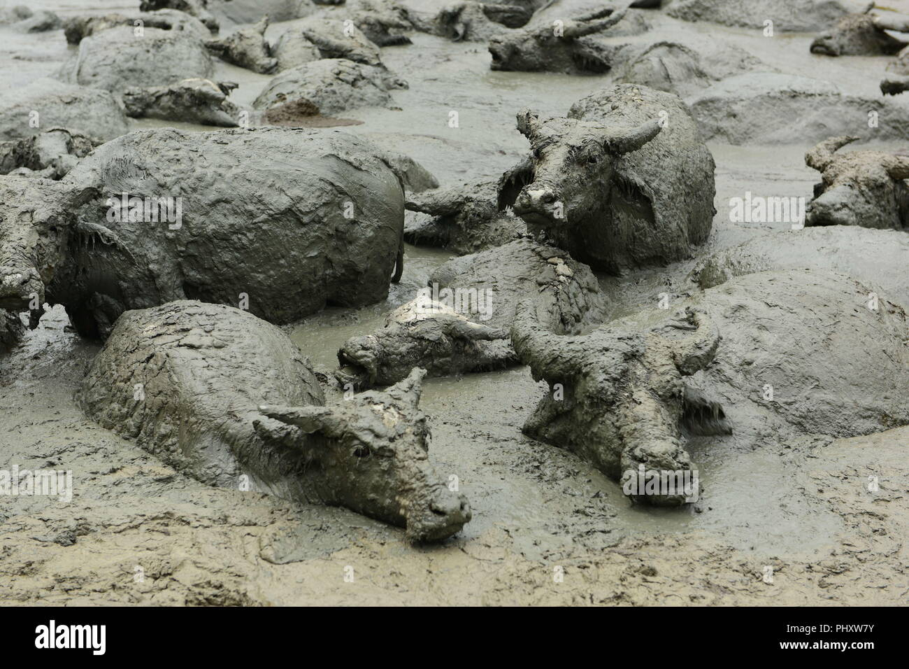 Enshi, China. 3rd Sep, 2018. Hundreds of buffaloes cool off by enjoying a mud-bath in Enshi, central China's Hubei Province. Credit: SIPA Asia/ZUMA Wire/Alamy Live News - Stock Image