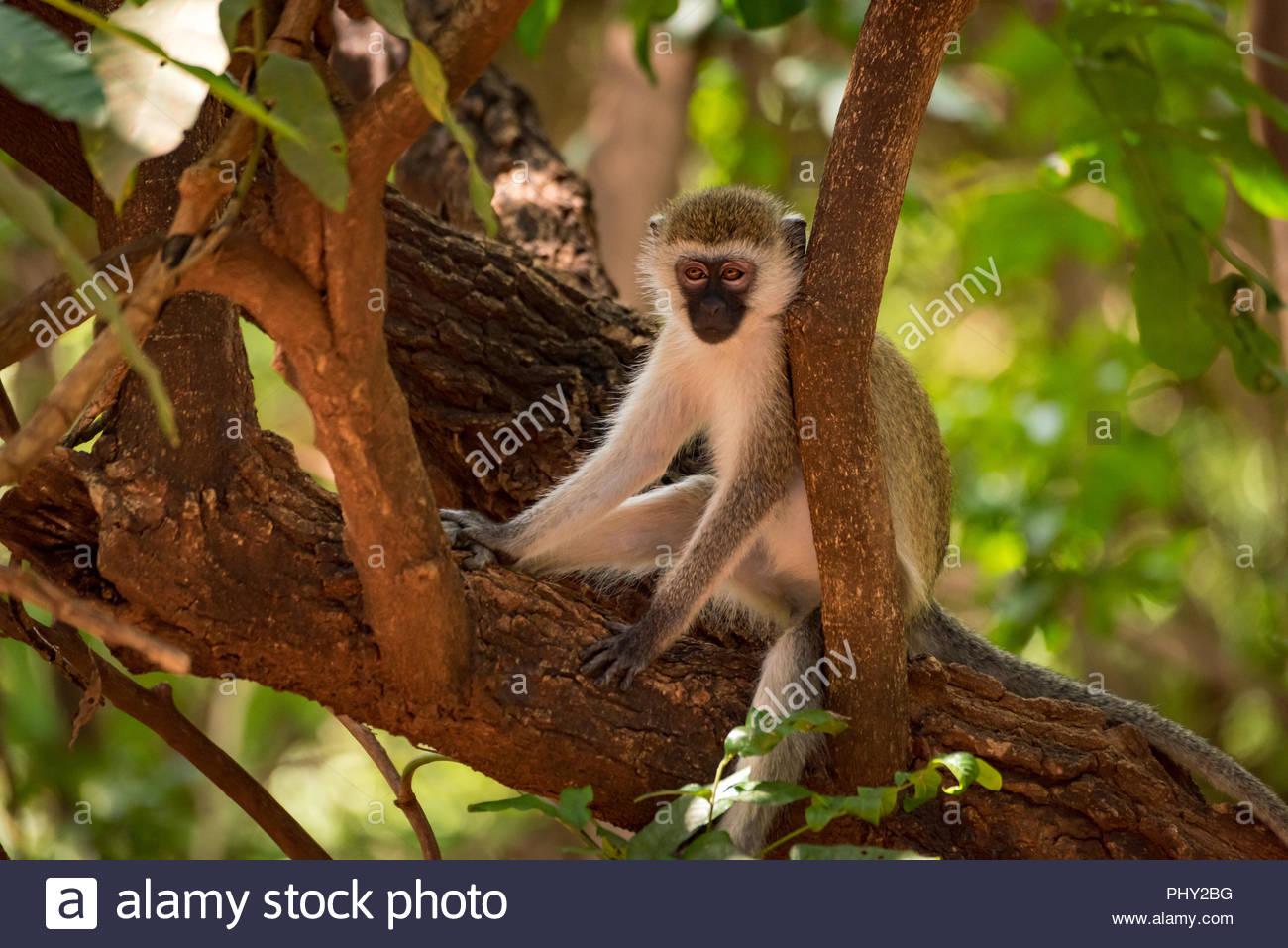 Vervet monkey sitting on branch in shade - Stock Photo