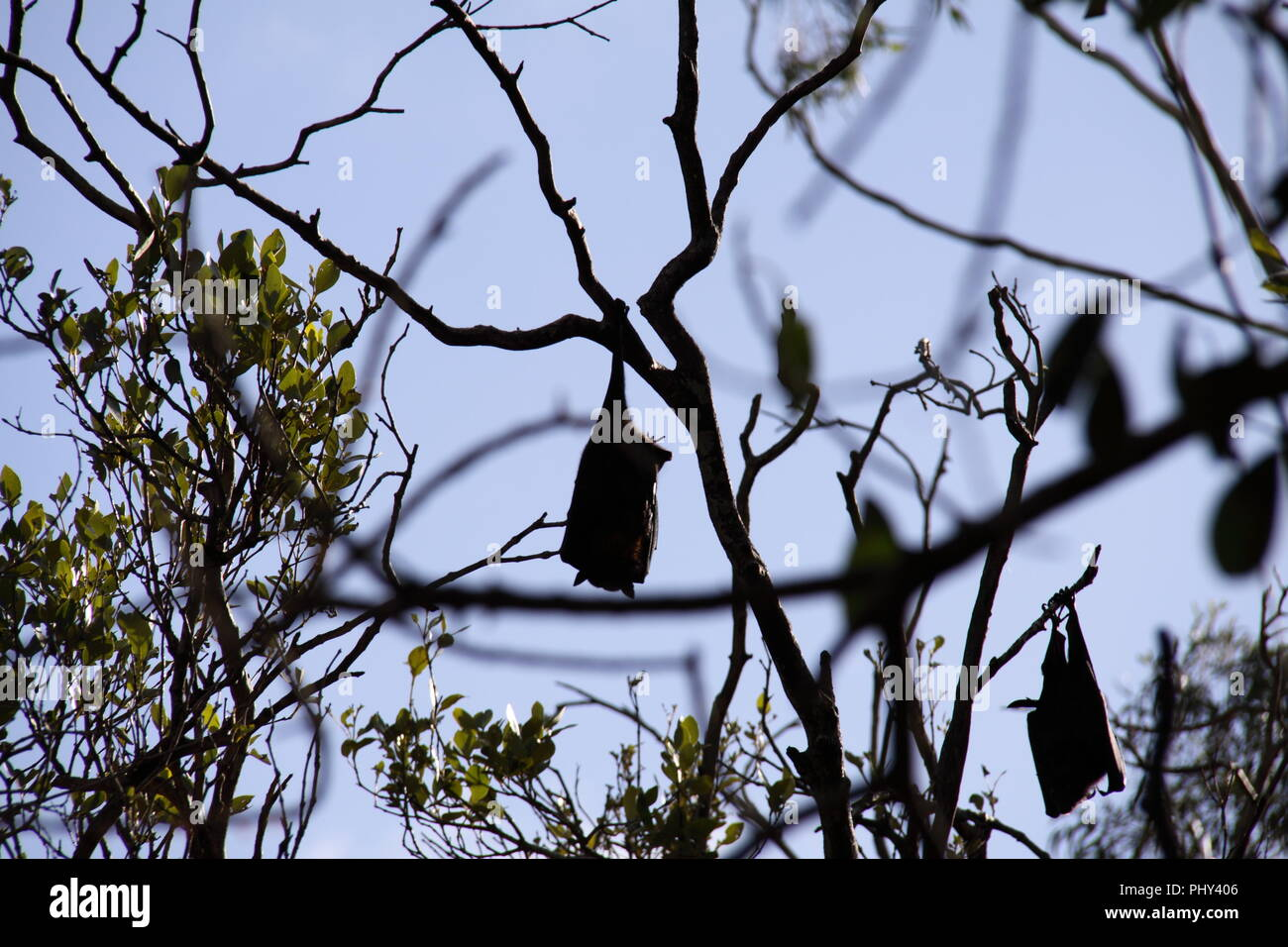 Gray-headed Flying Fox (Peteropus Poliocephalus) Colony roosting in Trees - Stock Image