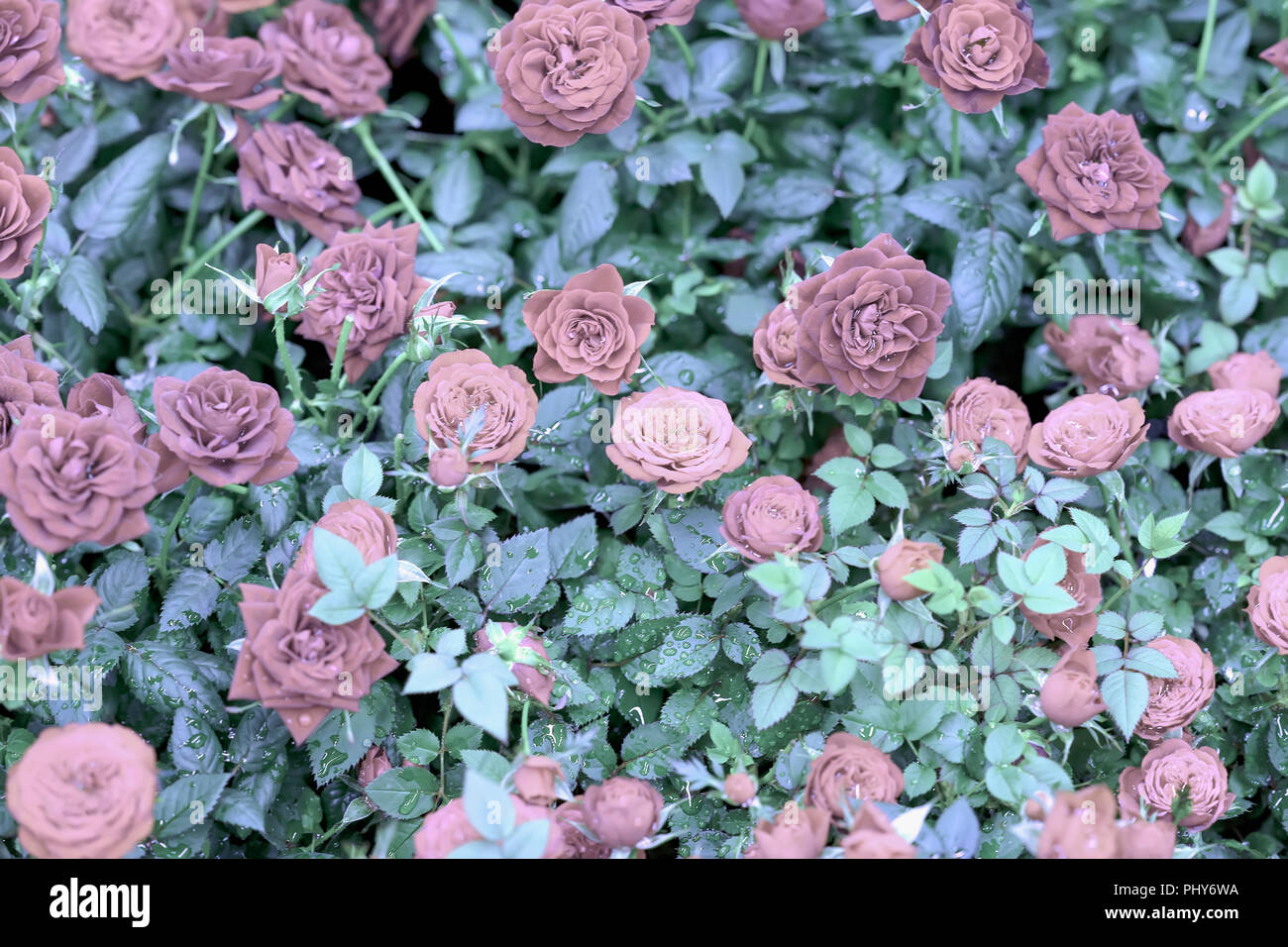Natural Pink Roses Romantic Flowers Beautiful Seasonal Floral
