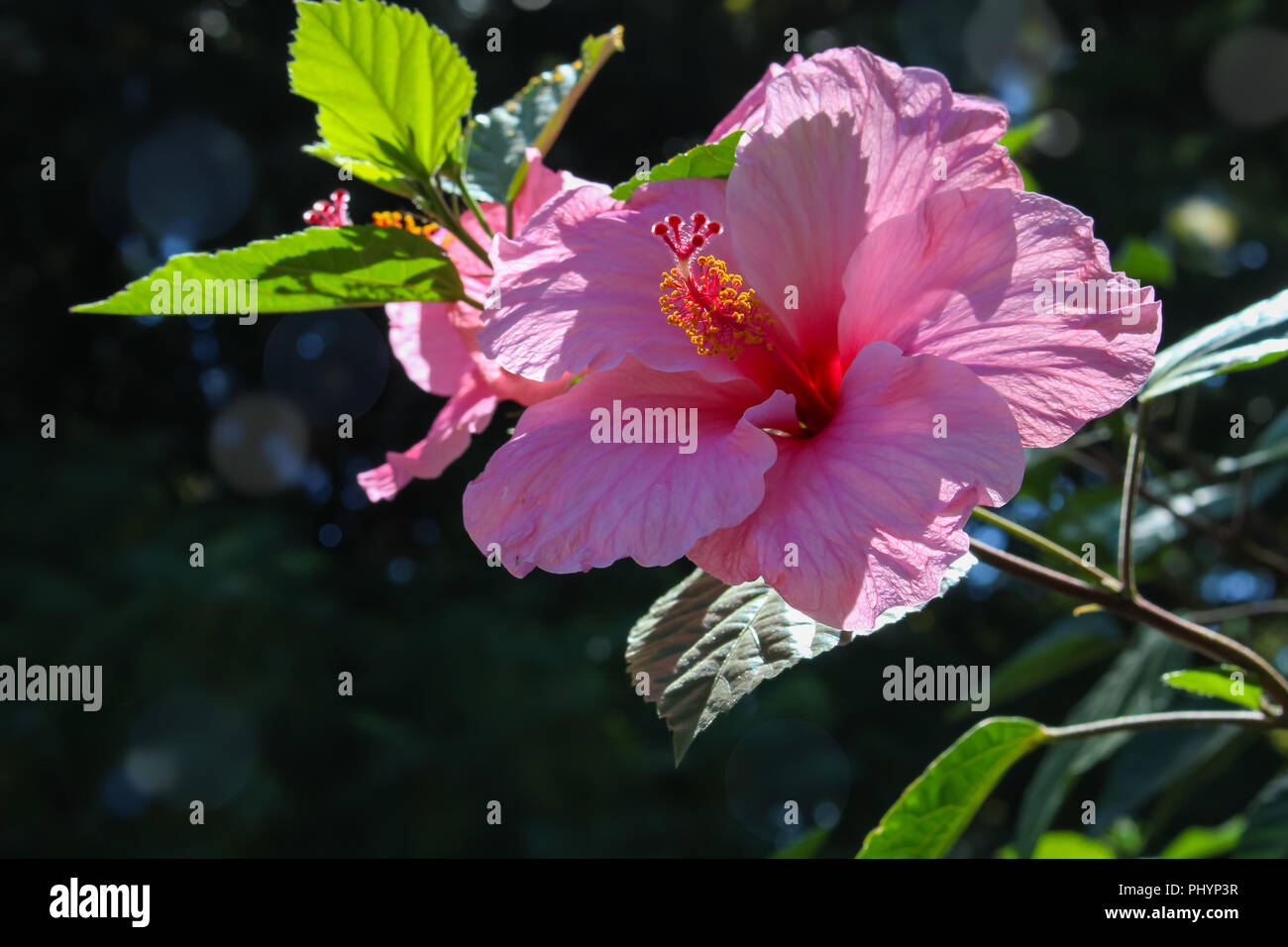 Beautiful pink hibiscus flower growing in the wild with light and beautiful pink hibiscus flower growing in the wild with light and shadows izmirmasajfo