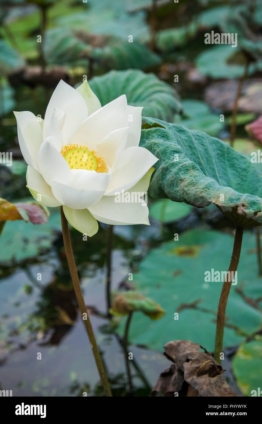 Scenic View Of The White Lotus Flowers In The Pond Stock Photo