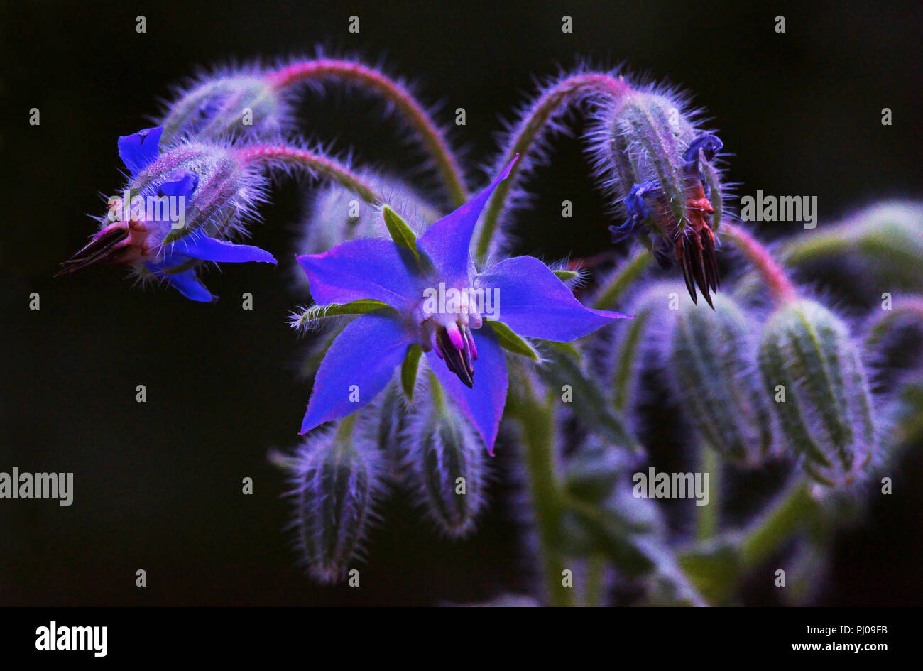 Close-up of the flowers of Borage (Borago officinalis).Borage has been used as a medicinal plant since ancient times. - Stock Image