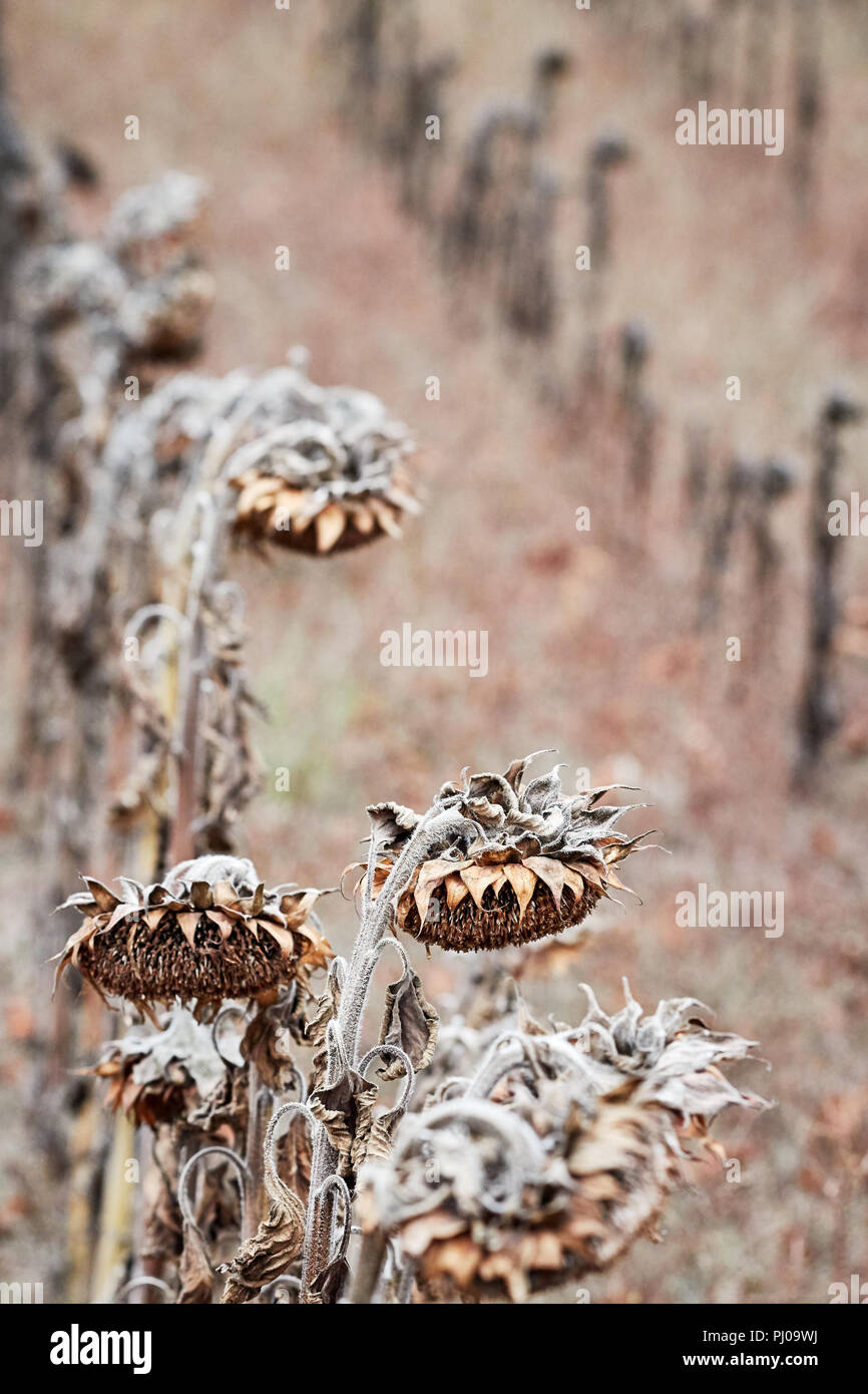 Withered sunflowers, natural disaster caused by extreme heat and record low rainfall in Europe during summer 2018, selective focus. - Stock Image