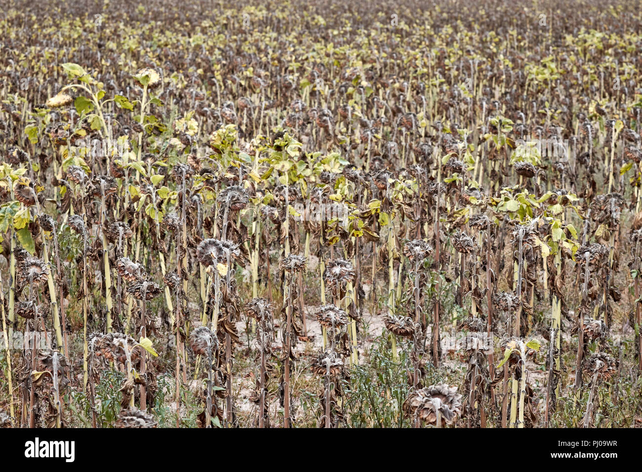Withered sunflowers field, natural disaster caused by extreme heat and record low rainfall in Europe during summer 2018. - Stock Image