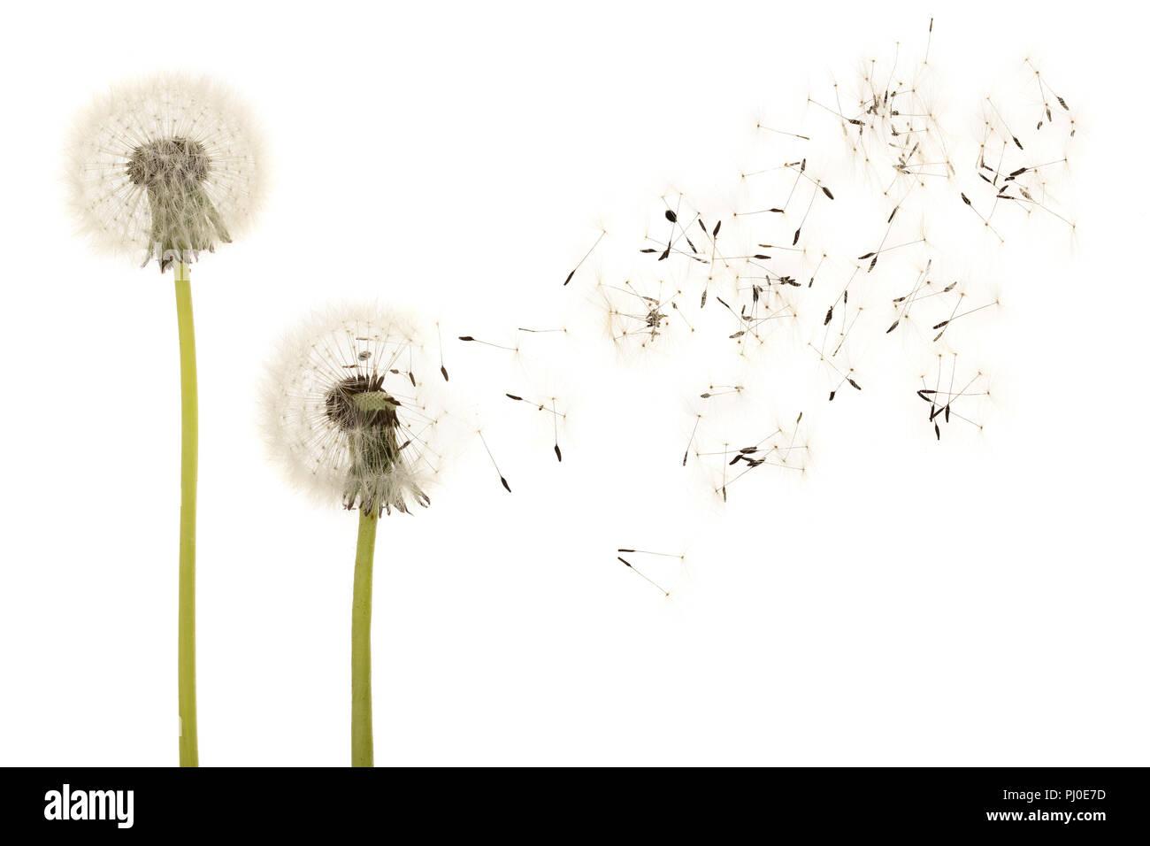 dandelion background.html
