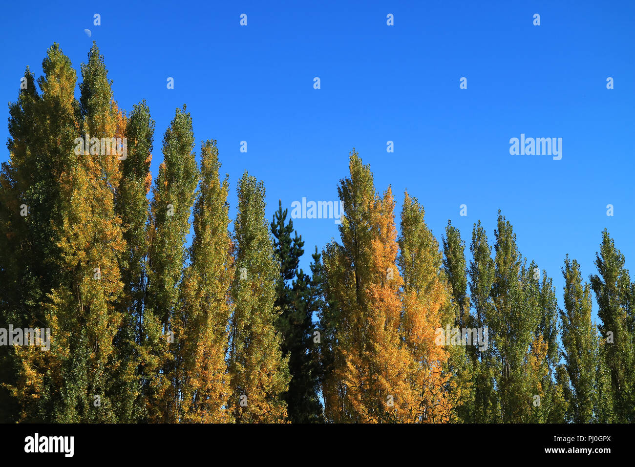 The color changing of Pine trees against vivid blue sky, autumn in El Calafate, Patagonia, Argentina - Stock Image