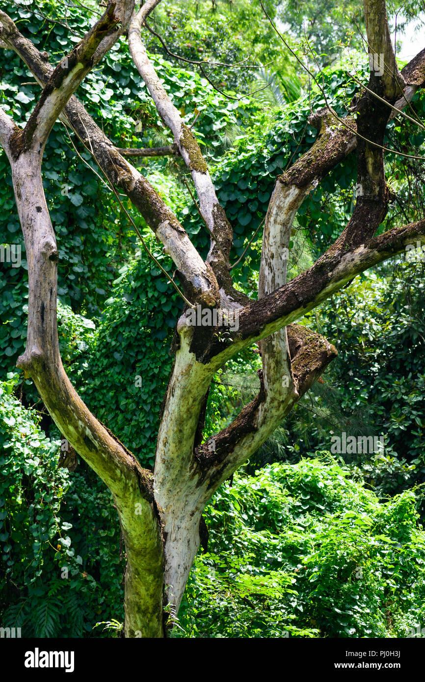 White Birch in Forest. Botanical garden India. - Stock Image