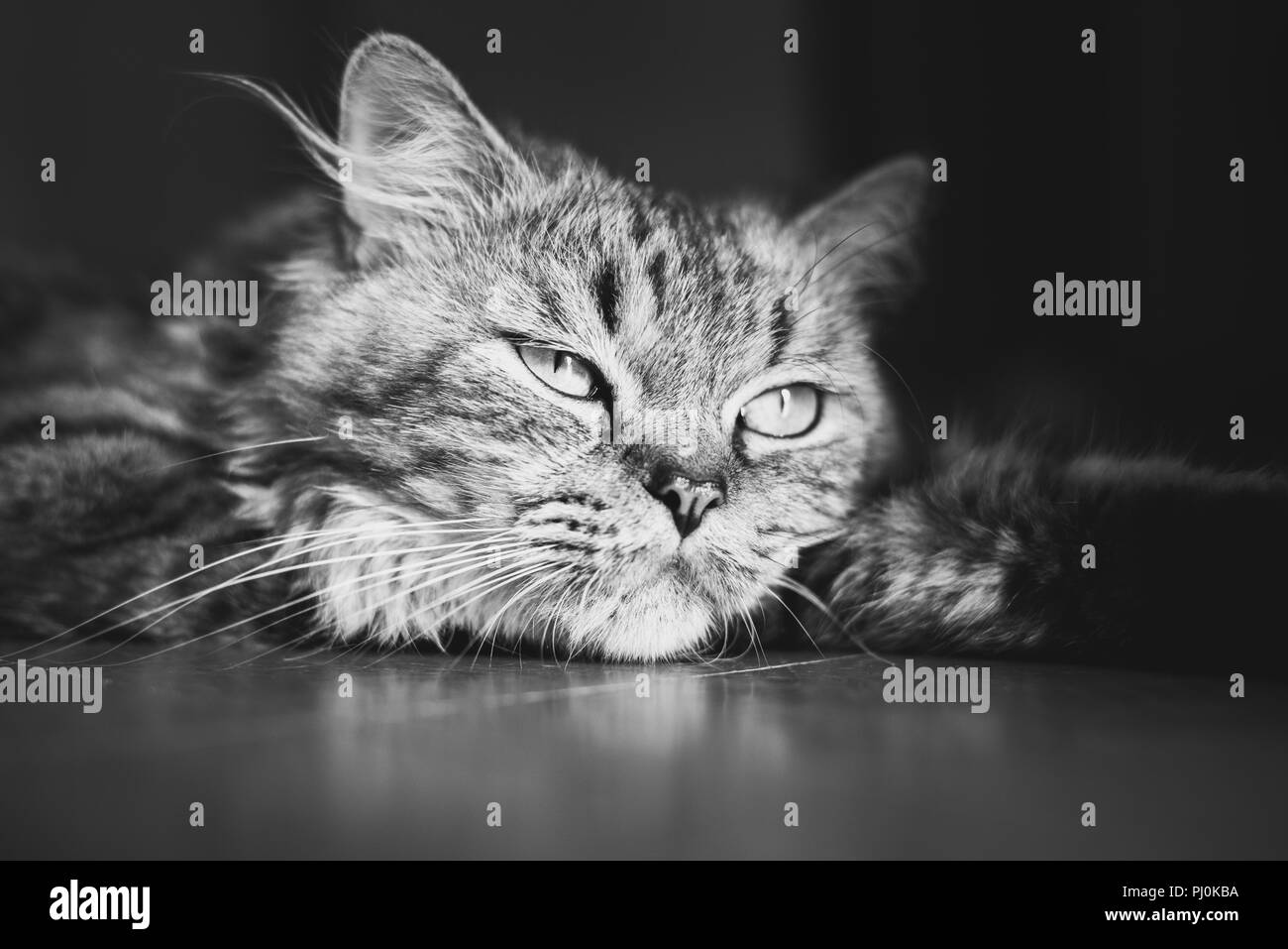 Portrait of a meditative fluffy tabby cat lying down on the floor. Black and white, close up - Stock Image