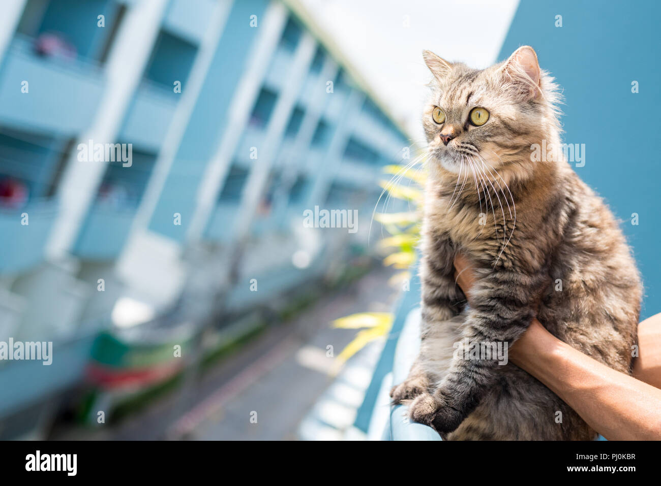 Fluffy tabby cat sits on the rail of a balcony (with help of the owner's hands) with a multistory building in the background. - Stock Image