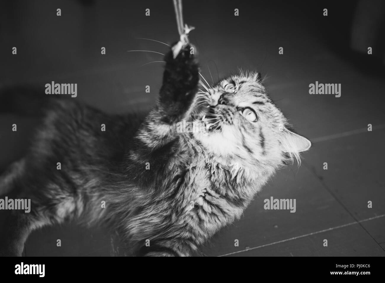 Cat plays with a rope: he caught the end and fiercely pulls it down whereas his master is invisible. - Stock Image