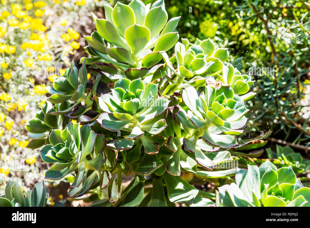 aeonium percarneum, Aeonium Kiwi, Kiwi Aeonium,  succulent, tree houseleek, aeonium percarneum Kiwi, succulent plant, plant, plants, leaves - Stock Image