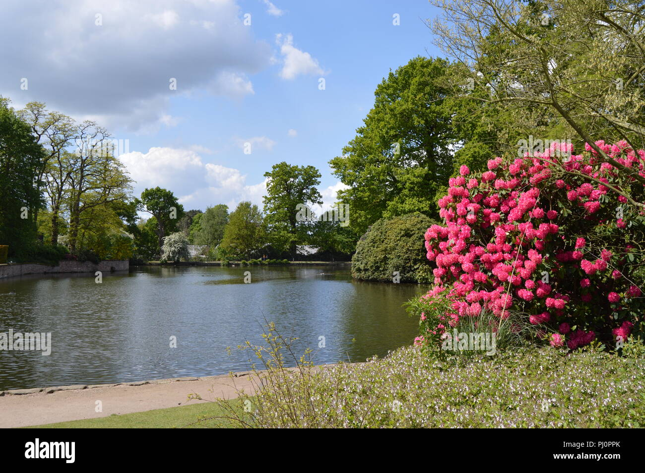 Landscape at Dunham Massey Altrincham Rhododendrons and Lake - Stock Image
