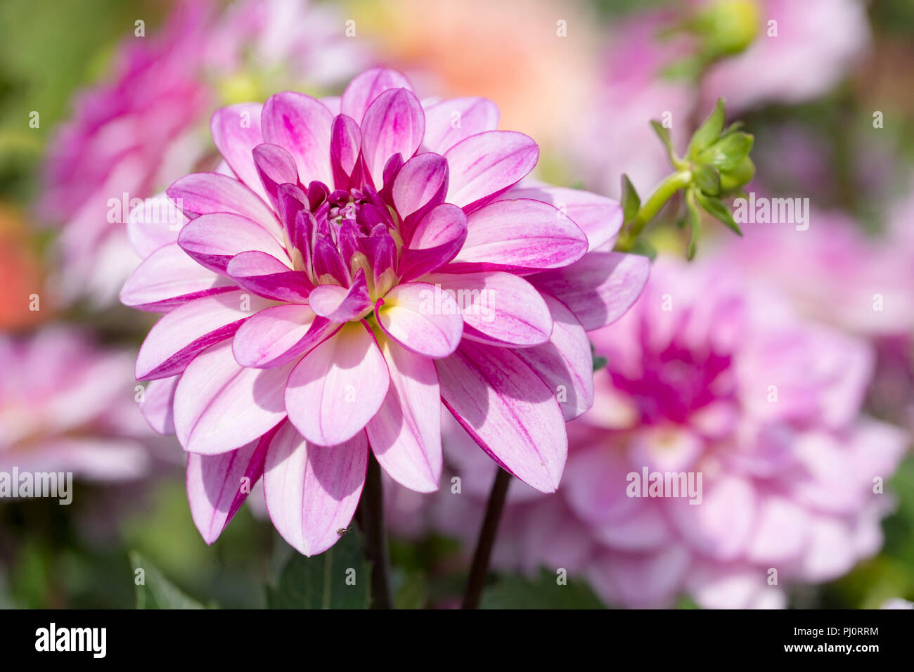 Close-up of the lilac flowers of dahlia 'Seduction' - Stock Image