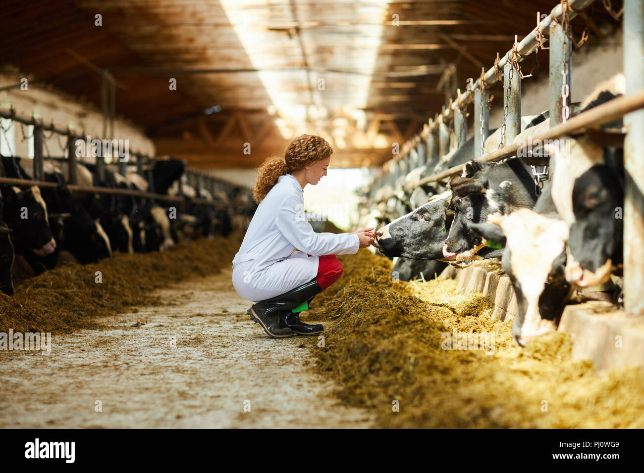 Young Woman Caring for Cows - Stock Image