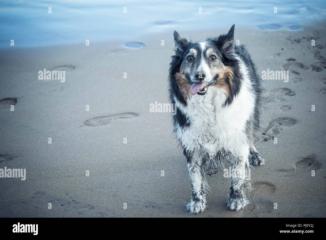 dirty happy dog border collie pjayful and cheerful. enjoyed to play at the beach with the sand and the water. - Stock Image