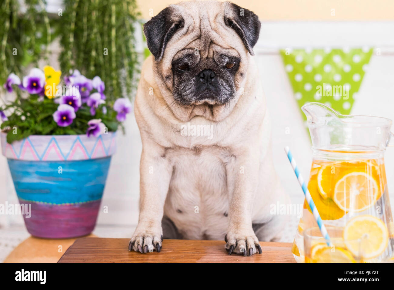 weight loss with diet concept. fat beautiful pretty pug dog sitting on a bench outdoor in terrace with water and lemon in front of him. healthy lifest - Stock Image