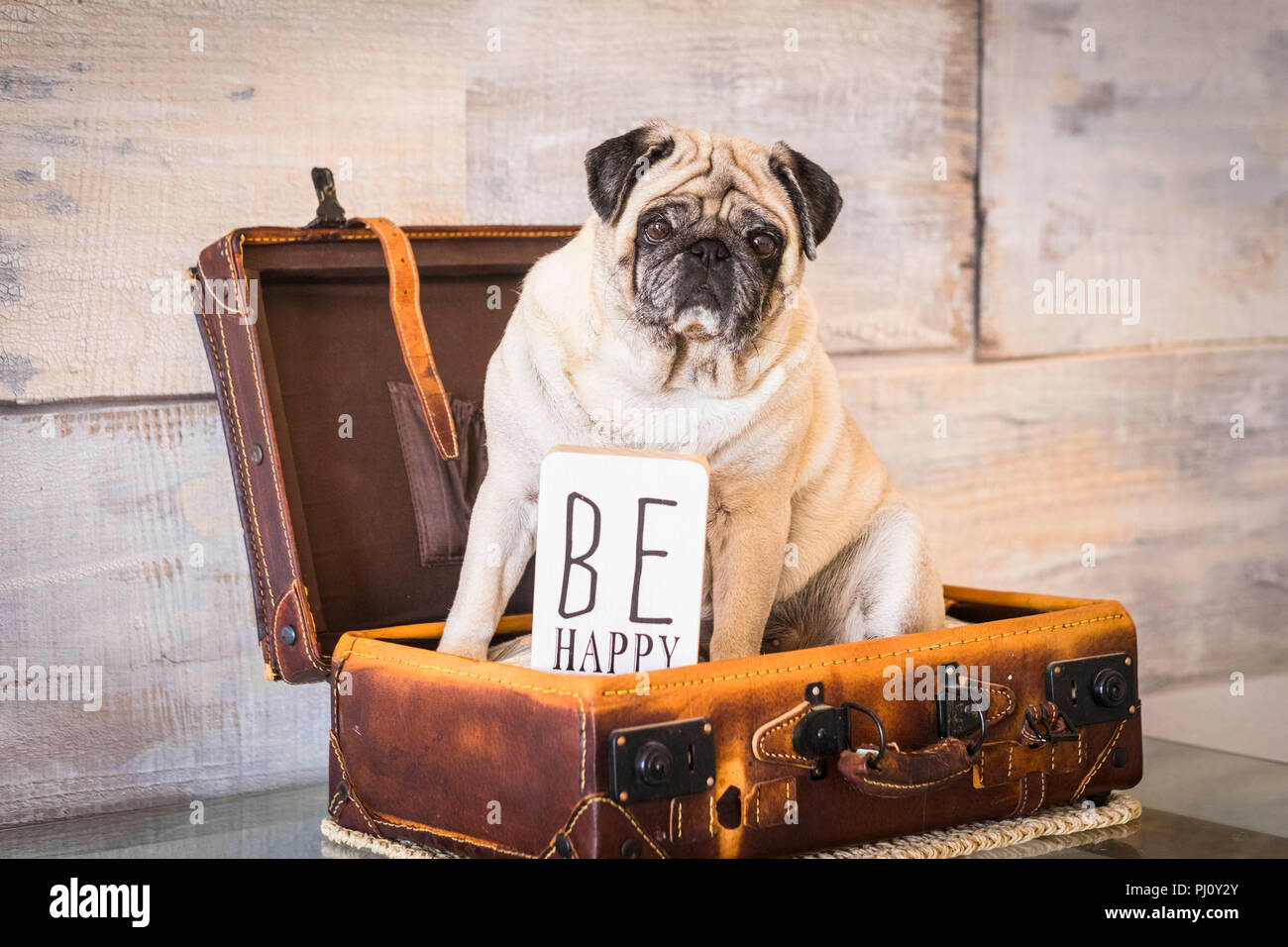 vintage filter and scene with old white pug lay down inside an old carrying case luggage. defocused background ancient style for wallpaper. Be happy c - Stock Image