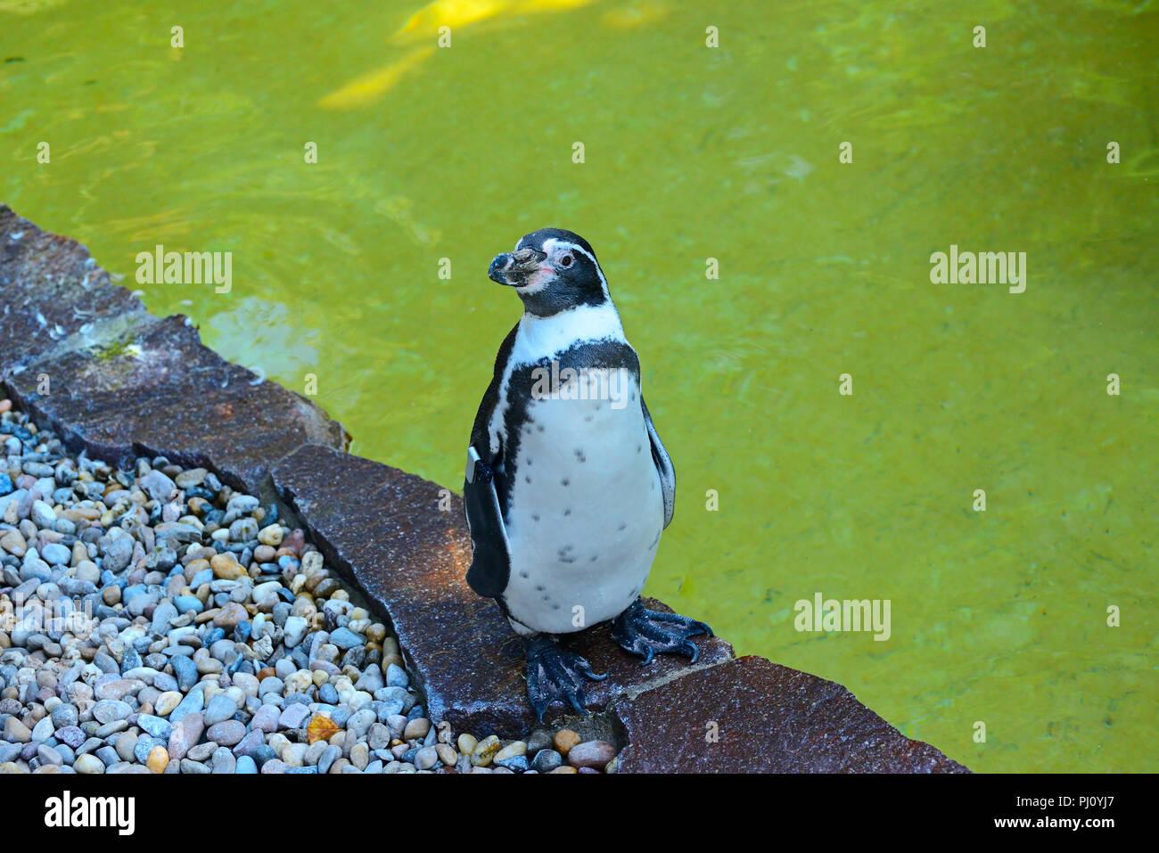 Rockhopper Penguin Swimming Stock Photos & Rockhopper Penguin ...