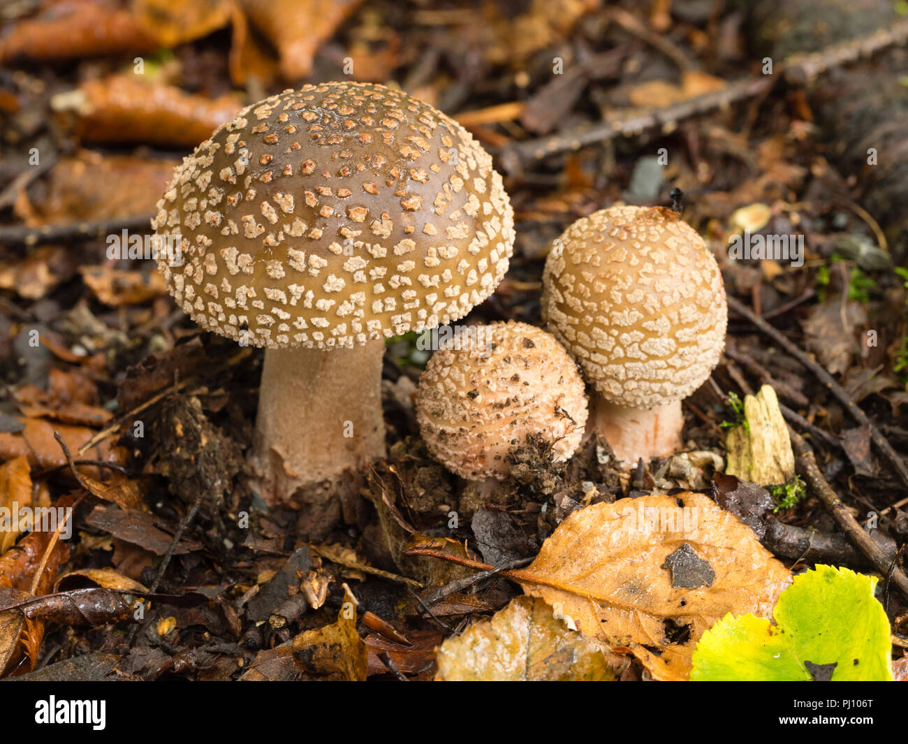 Freshly emerged fruiting bodies of the Blusher mushroom, Amanita rubescens, among birch leaf litter - Stock Image