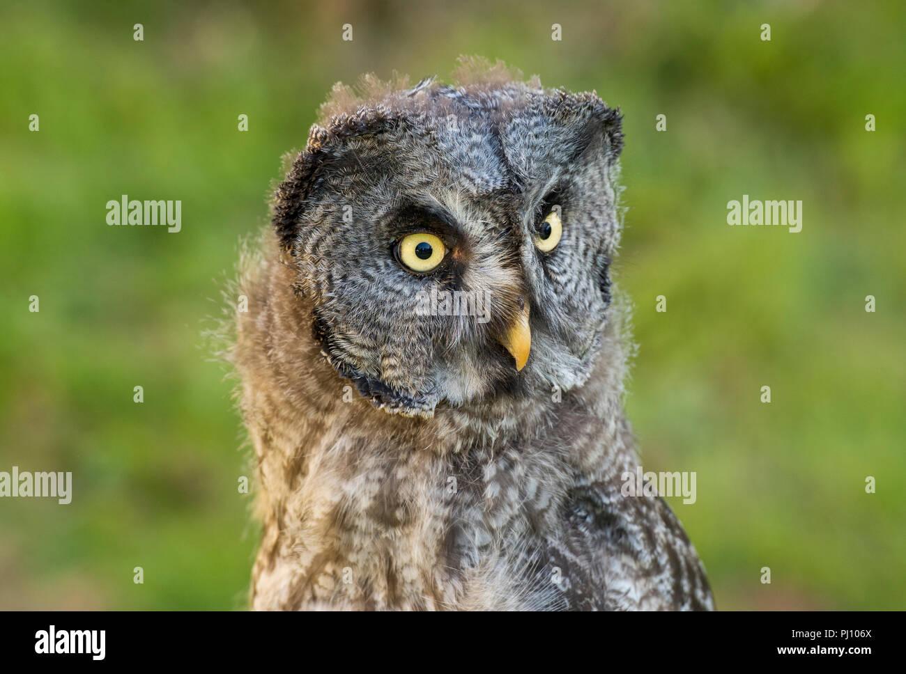 Greta Grey Owl Diurnal Yellow Eyes Daytime Hunter Symbol