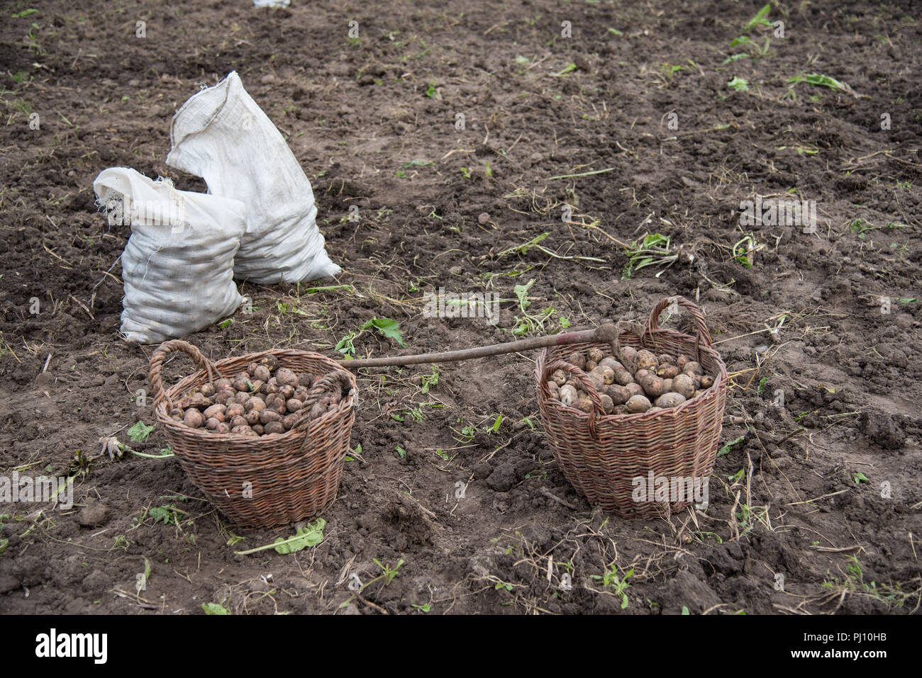 Two baskets filled with freshly dug potatoes are on the field and woven sacks filled with potatoes and hoe - hand tools for potato digging. Harvest - Stock Image