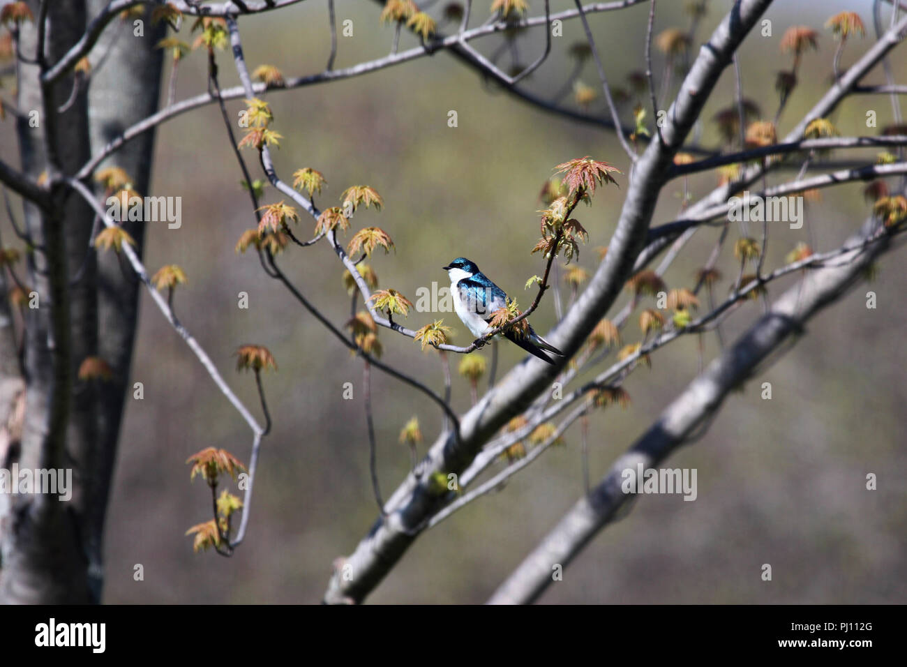 Single, male Tree Swallow sitting on a branch of an Emerald Queen Maple tree just beginning to leaf out in spring in Trevor, Wisconsin, USA - Stock Image