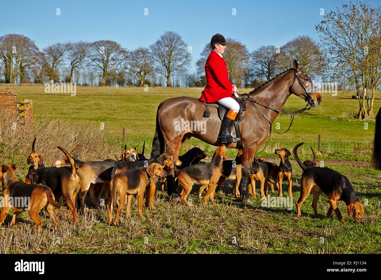 Fox hunting in England with hounds - Stock Image