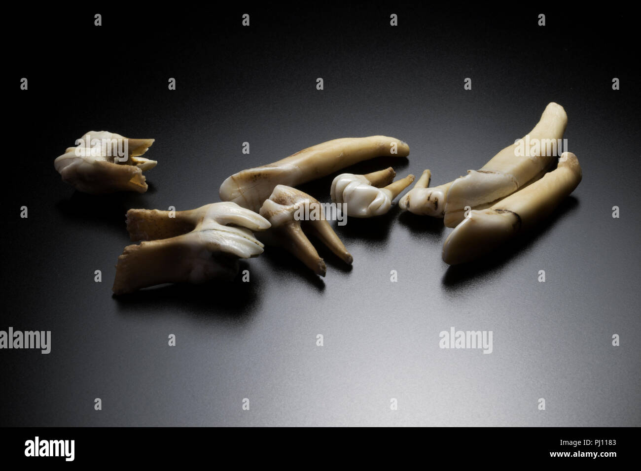 Group of teeth of various sizes. Pulled teeth on black background. Extracted teeth. Stock Photo