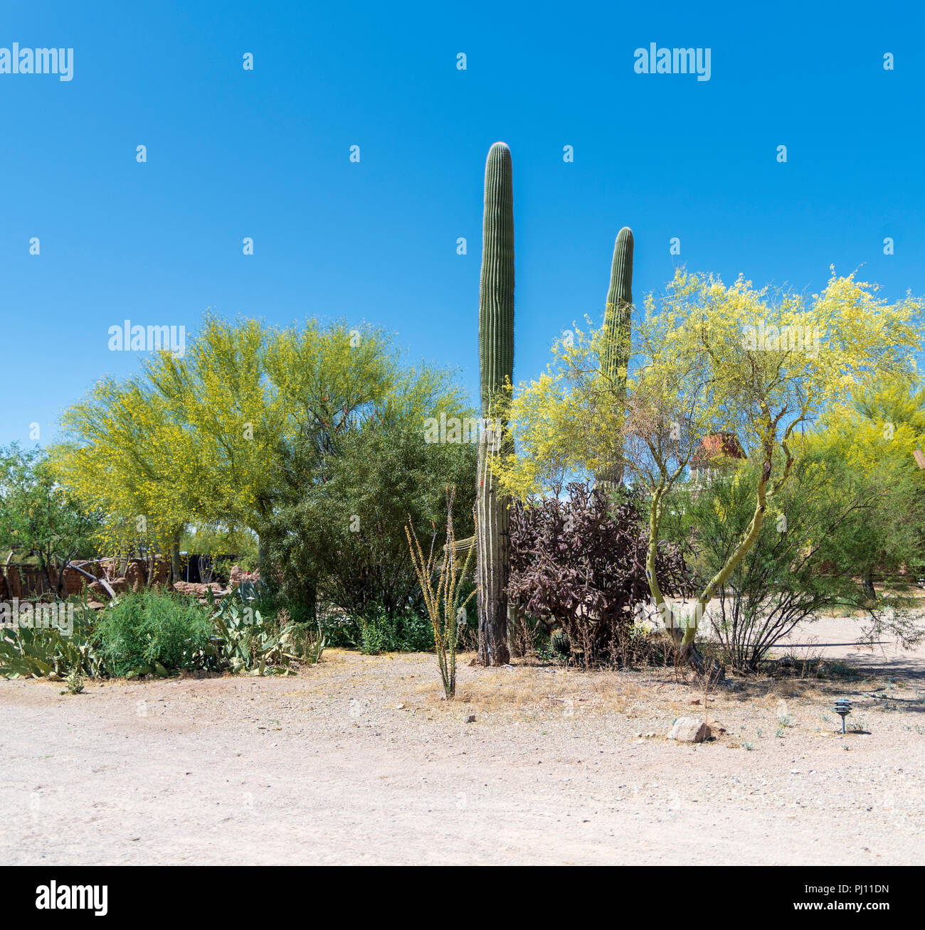Springtime In The Sonoran Desert With Saguaro Cactus Trees In Bloom