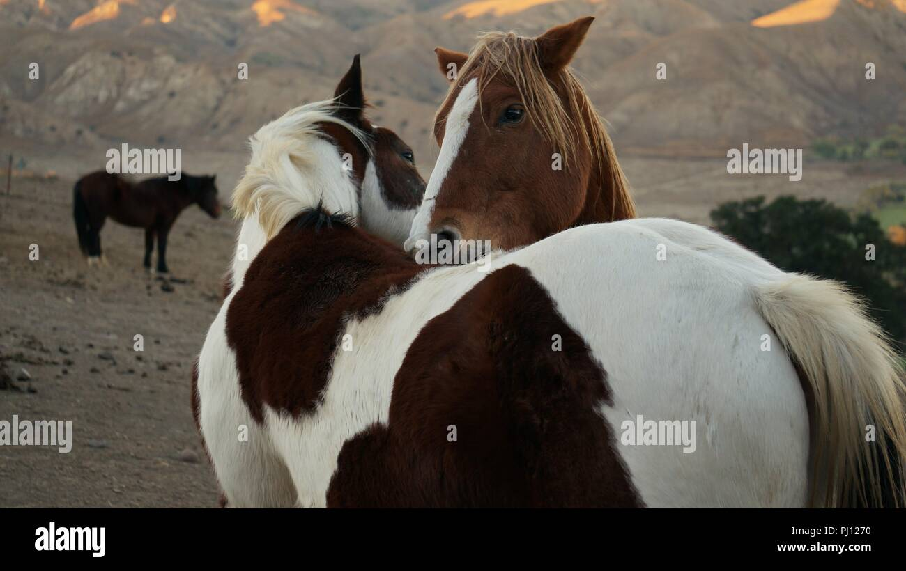 horses grooming each other - Stock Image