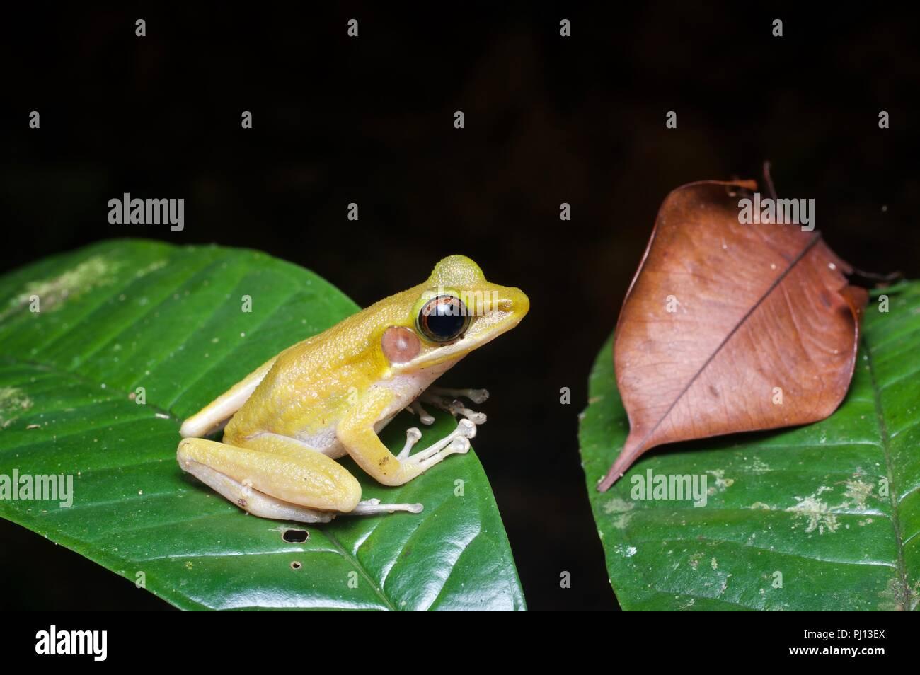 A Jade-backed Stream Frog (Hylarana raniceps) on a leaf at night in Kubah National Park, Sarawak, East Malaysia, Borneo - Stock Image