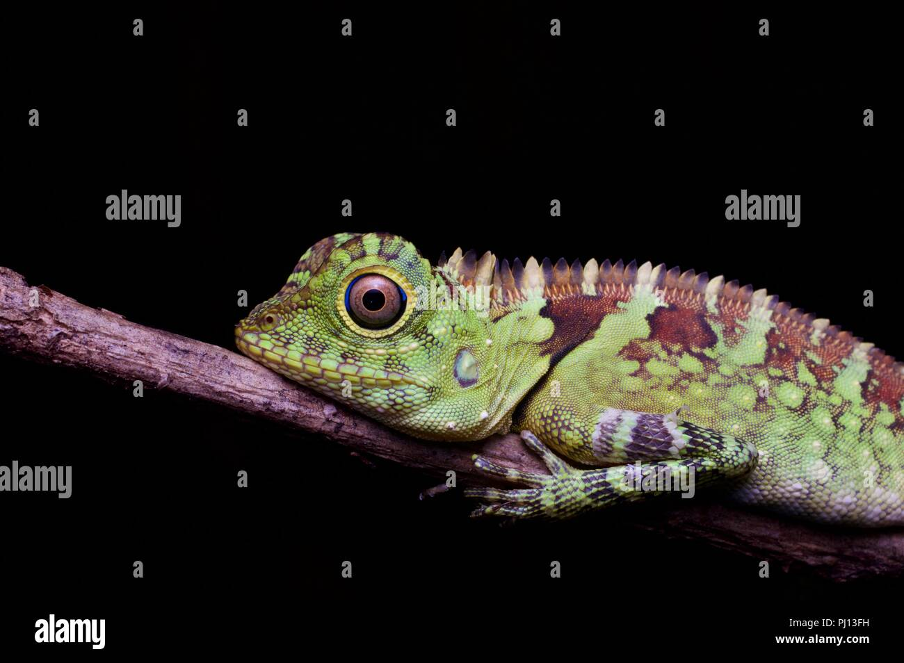 A female Blue-Eyed Forest Lizard (Gonocephalus liogaster) in the forest at night in Kubah National Park, Sarawak, East Malaysia, Borneo - Stock Image