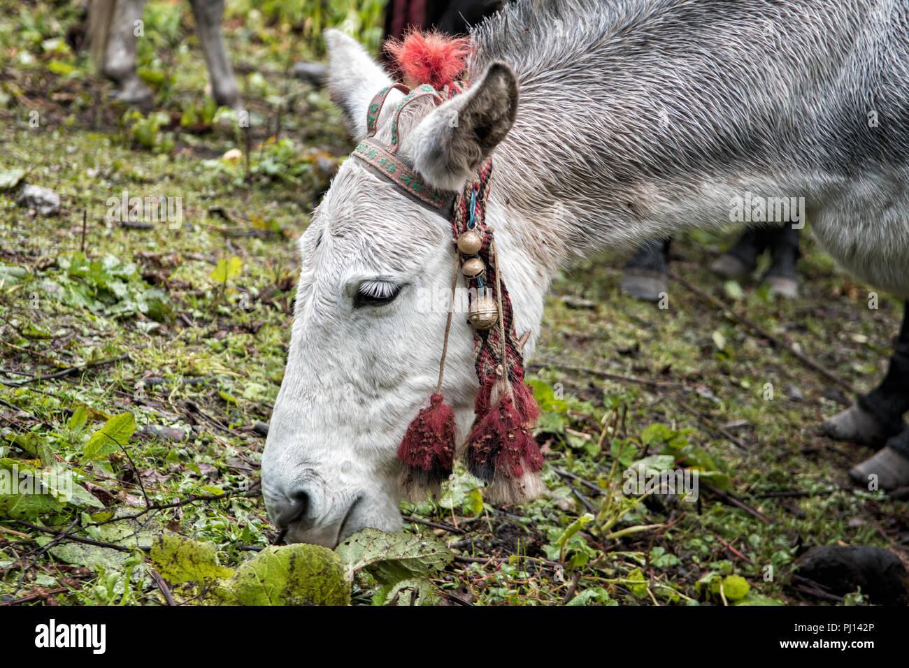 Pack animal at Thongo Zampa camp, Paro District, Snowman Trek, Bhutan Stock Photo