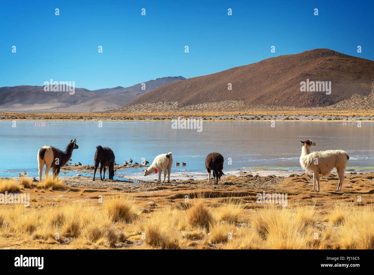 Domestic llamas grazing near a lake on the altiplano in Bolivia - Stock Image