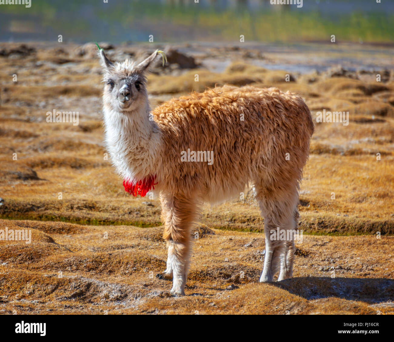 Portrait of a llama looking at the camera in Bolivia, South America - Stock Image