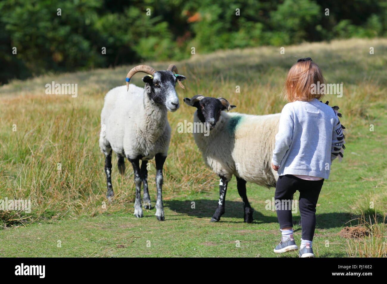 A  curious little girl walks up to Sheep grazing in the Upper Derwent Valley of The Peak District National Park. - Stock Image