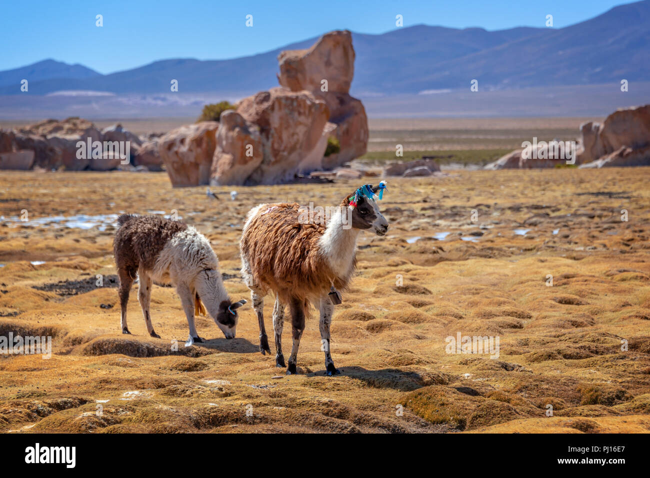 Domestic llamas grazing on the altiplano in Bolivia - Stock Image