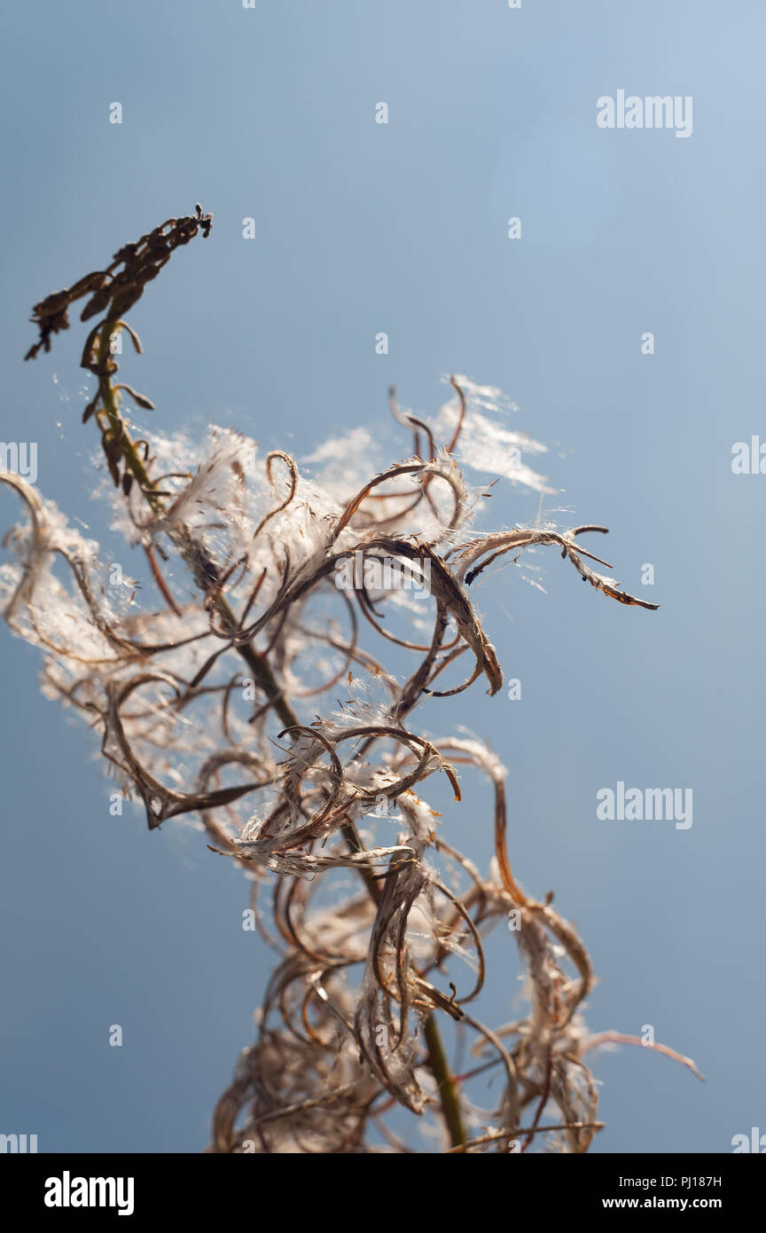 Rosebay Willowherb seeds popping open against blue sky showing the fine feathery seeds inside for dispersal by the wind, Chamerion angustifolium Stock Photo