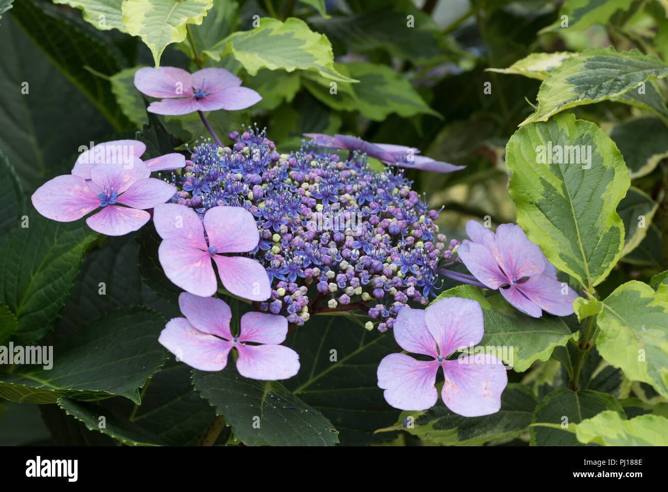 Confusion Changing Ph Of Soil Means Developing Hydrangea Flowers