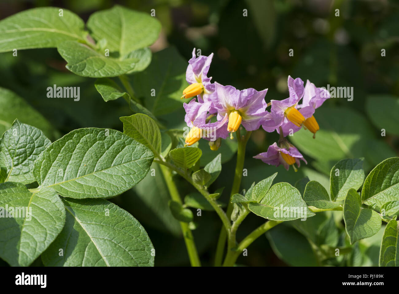 Pretty poisonous light purple potato flowers solanum tuberosum pretty poisonous light purple potato flowers solanum tuberosum similar to tomato and nightshade which will become fruit full of toxin solanine mightylinksfo