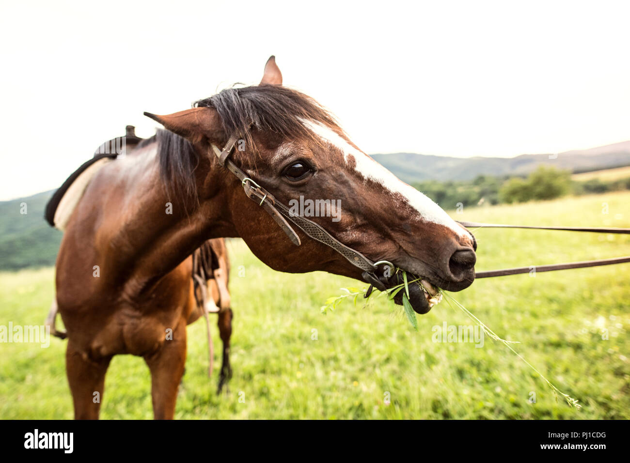 A brown riding horse eating grass, being held by somebody. - Stock Image