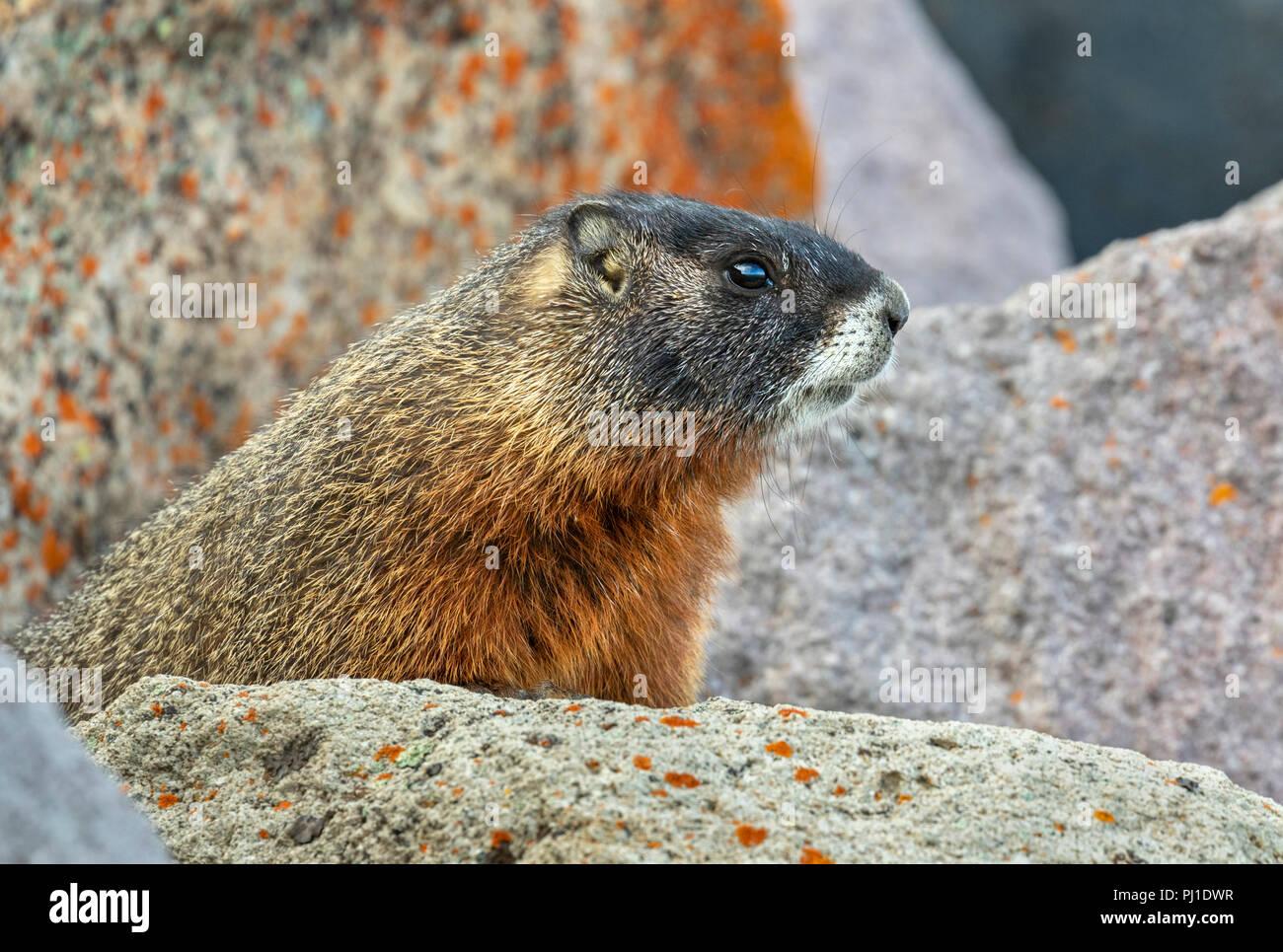 Yellow-bellied marmot (Marmota flaviventris) in rocky habitat, Yellowstone National Park, Wyoming, USA - Stock Image