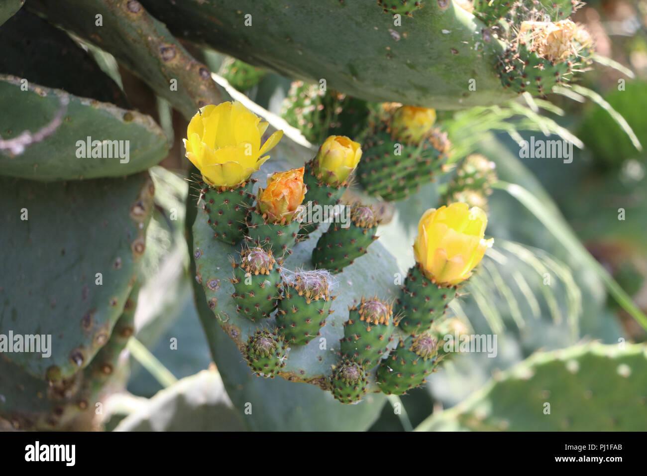 Nopal cactus under the sun Gazipasa, Antalya/Turkey - Stock Image
