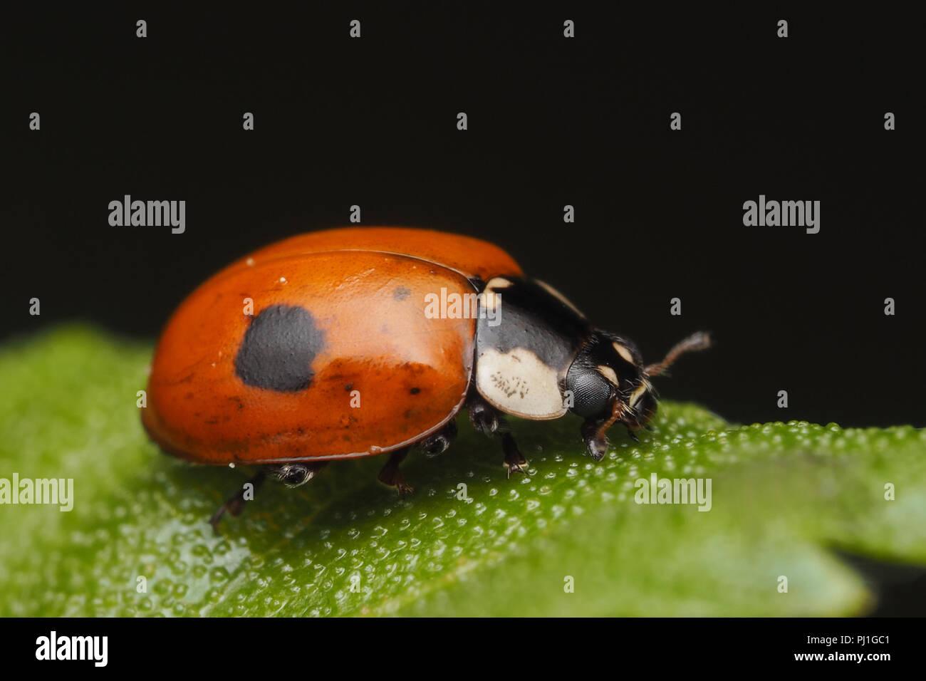 2 Spot Ladybird Adalia Bipunctata Resting On Birch Leaf Tipperary Ireland
