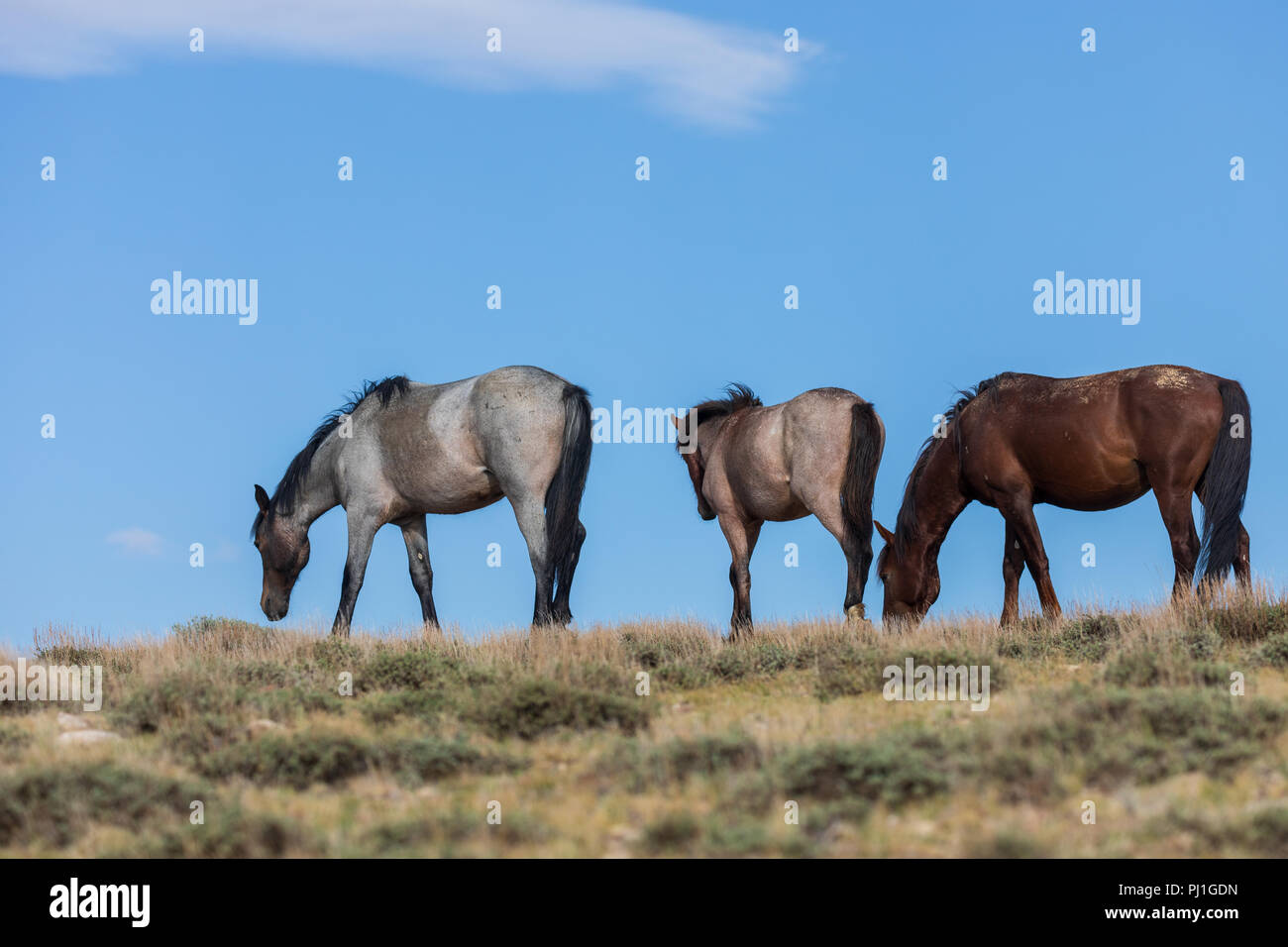 Wild Horses in Sand Wash basin Colorado - Stock Image