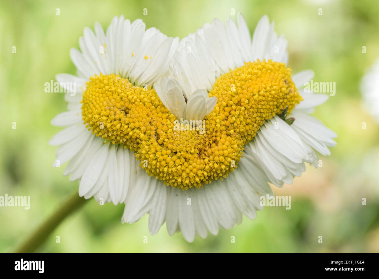 Daisies (Bellis perennis) showing abnormal growth called Fasciation or cresting. Tipperary, Ireland - Stock Image